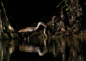 limpkin in the evening