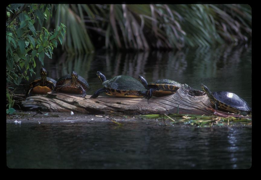 NFS_158_Ich_riv_Turtles