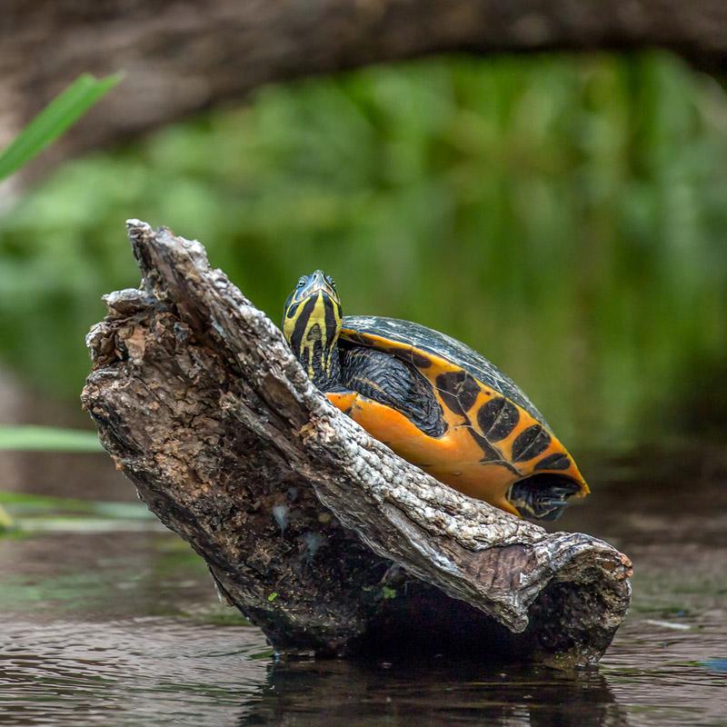 12_ich.solo turtle.1520SMALL