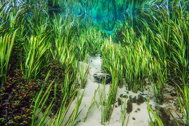 1_ich.healthy uw eelgrass2.20208SMALL